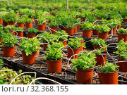 Pots with mint seedlings in glasshouse. Стоковое фото, фотограф Яков Филимонов / Фотобанк Лори