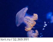 Купить «Jellyfish in the deep blue ocean with bright illuminance», фото № 32369991, снято 18 июля 2019 г. (c) Aleksejs Bergmanis / Фотобанк Лори