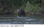 Купить «Wild hungry Kamchatka brown bear walking on river, looking around in search of food - red salmon fish during spawning», видеоролик № 32383579, снято 5 ноября 2019 г. (c) А. А. Пирагис / Фотобанк Лори