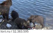 Купить «Brown she-bear with three funny yearling bear cub - wild beast marauders loot equipment fisherman on river bank», видеоролик № 32383595, снято 20 августа 2019 г. (c) А. А. Пирагис / Фотобанк Лори