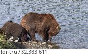 Купить «Wild beast brown she-bear with three funny yearling bear cub marauders fisherman catch and loot equipment on river», видеоролик № 32383611, снято 20 августа 2019 г. (c) А. А. Пирагис / Фотобанк Лори