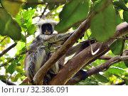 Купить «Zanzibar red colobus in Jozani forest. Tanzania, Africa», фото № 32386091, снято 6 октября 2019 г. (c) Знаменский Олег / Фотобанк Лори