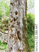 Купить «Старый дуб, поврежденный вредителями, выдолбленные дятлом дупла», фото № 32386447, снято 1 мая 2019 г. (c) Наталья Гармашева / Фотобанк Лори
