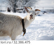 Купить «Portrait of a funny white goat with beautiful horns. Weather cold, winter, snow», фото № 32386475, снято 14 ноября 2019 г. (c) Ирина Козорог / Фотобанк Лори