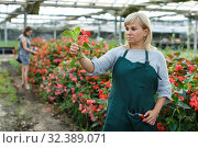 Купить «Female florist with scissors gardening red begonia plants in greenhouse», фото № 32389071, снято 20 августа 2018 г. (c) Яков Филимонов / Фотобанк Лори