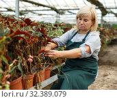 Купить «Mature female gardener with scissors cutting begonia plants in greenhouse», фото № 32389079, снято 20 августа 2018 г. (c) Яков Филимонов / Фотобанк Лори