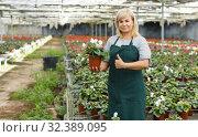 Купить «Mature female gardener choosing flowers of white cyclamen in pot», фото № 32389095, снято 20 августа 2018 г. (c) Яков Филимонов / Фотобанк Лори