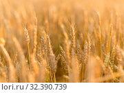 Купить «cereal field with ripe wheat spikelets», фото № 32390739, снято 26 июля 2019 г. (c) Syda Productions / Фотобанк Лори