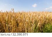 Купить «cereal field with ripe wheat spikelets», фото № 32390971, снято 26 июля 2019 г. (c) Syda Productions / Фотобанк Лори