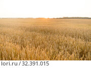 Купить «cereal field with ripe wheat spikelets», фото № 32391015, снято 26 июля 2019 г. (c) Syda Productions / Фотобанк Лори