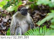 Купить «Zanzibar red colobus in Jozani forest. Tanzania, Africa», фото № 32391391, снято 6 октября 2019 г. (c) Знаменский Олег / Фотобанк Лори