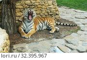 Купить «Геленджик, Сафари-парк, тигр лежит и зевает», эксклюзивное фото № 32395967, снято 24 сентября 2018 г. (c) Dmitry29 / Фотобанк Лори