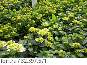 Купить «Beautiful flowering plants cultivated in modern hothouse», фото № 32397571, снято 9 апреля 2019 г. (c) Яков Филимонов / Фотобанк Лори