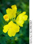 Купить «Evening primrose flowers and buds», фото № 32398567, снято 6 июня 2019 г. (c) Короленко Елена / Фотобанк Лори