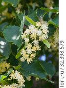 Купить «Linden tree flowers close up», фото № 32398579, снято 16 июня 2019 г. (c) Короленко Елена / Фотобанк Лори