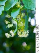 Купить «Linden tree flowers, macro», фото № 32398587, снято 16 июня 2019 г. (c) Короленко Елена / Фотобанк Лори