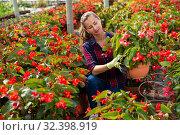Купить «Female florist cultivating Begonia Semperflorens», фото № 32398919, снято 6 августа 2020 г. (c) Яков Филимонов / Фотобанк Лори