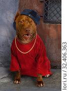 Купить «American Pit Bull Terrier dog dressed in a red tee shirt», фото № 32406363, снято 30 октября 2019 г. (c) Алексей Кузнецов / Фотобанк Лори