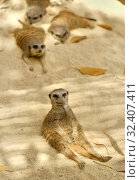 Купить «Family of lazy resting meerkats outdoors, pretty wild animals in safari park taken in Spain», фото № 32407411, снято 26 июля 2019 г. (c) Alexander Tihonovs / Фотобанк Лори