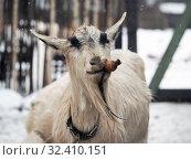 Купить «Very funny goat with a carrot. Portrait of an animal», фото № 32410151, снято 14 ноября 2019 г. (c) Ирина Козорог / Фотобанк Лори