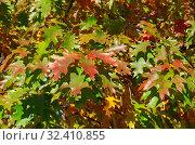 Купить «Разноцветные листья дуба красного или остролистного (лат. Quercus rubra) на ветках осенью», фото № 32410855, снято 12 октября 2018 г. (c) Елена Коромыслова / Фотобанк Лори