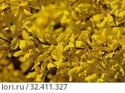 Beautiful yellow flowers of forsythia close-up in the bright sun. Стоковое фото, фотограф Сергей Трофименко / Фотобанк Лори