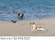 Little thoroughbred dog chasing pigeons on the seashore. Стоковое фото, фотограф Олег Белов / Фотобанк Лори