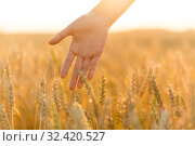 Купить «hand touching wheat spickelets on cereal field», фото № 32420527, снято 26 июля 2019 г. (c) Syda Productions / Фотобанк Лори