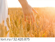 Купить «hand touching wheat spickelets on cereal field», фото № 32420875, снято 26 июля 2019 г. (c) Syda Productions / Фотобанк Лори