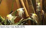 Large marine fish(in the aquarium, close-up), underwater life. Стоковое видео, видеограф Владимир Журавлев / Фотобанк Лори
