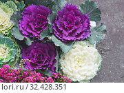 Купить «Closeup view of rosette colorful cabbage brassica plant.», фото № 32428351, снято 19 октября 2017 г. (c) Kira_Yan / Фотобанк Лори