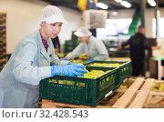 Купить «Employee inspecting quality of apples in sorting factory», фото № 32428543, снято 1 октября 2019 г. (c) Яков Филимонов / Фотобанк Лори