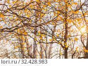 Autumn seasonal October background with bright colorful yellow golden branches and birch foliage in the sunlight in the forest on nature in nice warm sunny weather. Стоковое фото, фотограф Светлана Евграфова / Фотобанк Лори
