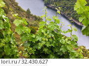 Купить «Vineyards, Ribeira Sacra, Heroic Viticulture, Sil river canyon, Doade, Sober, Lugo, Galicia, Spain», фото № 32430627, снято 23 мая 2019 г. (c) age Fotostock / Фотобанк Лори