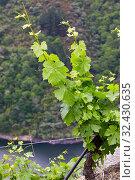 Купить «Vineyards, Ribeira Sacra, Heroic Viticulture, Sil river canyon, Doade, Sober, Lugo, Galicia, Spain», фото № 32430635, снято 23 мая 2019 г. (c) age Fotostock / Фотобанк Лори