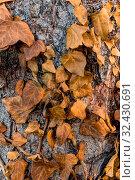 Braunes Efeu am Baumstamm, Symbol für Herbst, Veränderung, Sterben. Стоковое фото, фотограф Zoonar.com/Erwin Wodicka / age Fotostock / Фотобанк Лори