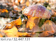 Купить «Autumn nature, mushroom season. Forest dangerous poisonous inedible hallucinogenic lamellar spotted fly agaric, poisoning of the body, deadly toadstool in the sunny meadow», фото № 32447131, снято 19 октября 2019 г. (c) Светлана Евграфова / Фотобанк Лори