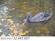 Купить «Черный лебедь (Cygnus atratus Latham) пьет воду в озере», фото № 32447607, снято 21 октября 2014 г. (c) Ирина Борсученко / Фотобанк Лори