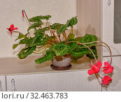 Persian cyclamen with carved leaves in a clay pot. Стоковое фото, фотограф Владимир Аликин / Фотобанк Лори