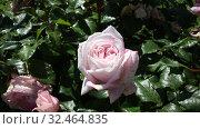 Купить «Rose flowers blooming in spring garden», видеоролик № 32464835, снято 27 мая 2019 г. (c) Яков Филимонов / Фотобанк Лори