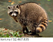 Купить «A raccoon plays outside on the water», фото № 32467835, снято 5 декабря 2019 г. (c) easy Fotostock / Фотобанк Лори