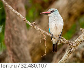 Купить «Woodland kingfisher on a branch in the Kruger National Park, South Africa.», фото № 32480107, снято 31 марта 2020 г. (c) easy Fotostock / Фотобанк Лори