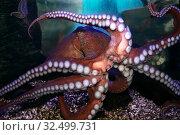 Купить «Осьминог (Octopoda) в аквариуме», фото № 32499731, снято 6 мая 2019 г. (c) Татьяна Белова / Фотобанк Лори