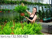 Купить «Woman gardener is standing with flowers Nephrolepis in orangery», фото № 32500423, снято 22 мая 2019 г. (c) Яков Филимонов / Фотобанк Лори