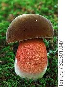 Купить «Neoboletus luridiformis, Schleswig-Holstein, Germany», фото № 32501047, снято 9 апреля 2020 г. (c) age Fotostock / Фотобанк Лори