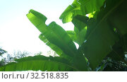 Banana leaves on the sky background. Стоковое видео, видеограф Илья Шаматура / Фотобанк Лори