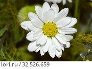 Single white chamomile with white petals. Стоковое фото, фотограф Руслан Аюпов / Фотобанк Лори