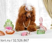 Купить «Funny Toy Poodle dog sitting at the table with perfume», фото № 32526867, снято 15 ноября 2019 г. (c) Алексей Кузнецов / Фотобанк Лори
