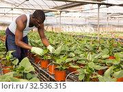 Купить «Confident farmer working with asplenium antiquum seedlings in greenhouse», фото № 32536315, снято 29 октября 2019 г. (c) Яков Филимонов / Фотобанк Лори
