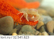 Pea crab (Pinnotheres pinnotheres) is a little crab native to Mediterranean Sea and eastern Atlantic Ocean. Стоковое фото, фотограф J M Barres / age Fotostock / Фотобанк Лори